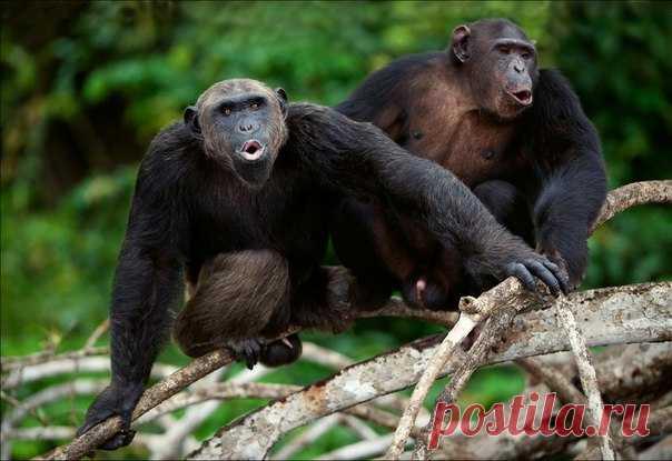 Помните, как в детстве все играли в «камень, ножницы, бумага»? Теперь и шимпанзе тоже оценили.