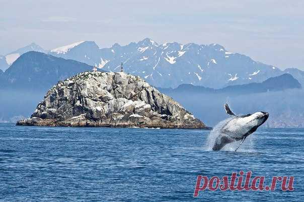 С 2011 года наблюдается странная тенденция: горбатые киты, известные одиночки, все чаще сбиваются в крупные стаи.