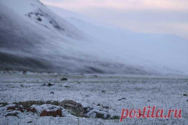 «Найди толая» «Сайлюгемский национальный парк, летнее утро. Толай решил, что небольшая ямка станет для него хорошим укрытием. Вот только накануне на Алтай обрушился нежданный снегопад, и маскировка оказалась не такой удачной. Солнце уже подкрасило небо, и зайчиком можно было залюбоваться», – рассказывает историю этого снимка фотограф Виктор Тяхт: nat-geo.ru/community/user/18861/ Фотография участвует в нашем главном конкурсе «Дикая природа России 2019». Присоединяйтесь: bit.ly/NGdpr2019
