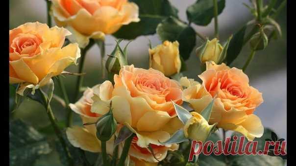 Метод омоложения роз содой!    Для омоложения роз применяют обычную пищевую соду, которая есть в каждом доме. Для этого в 5 литрах воды развести 1 ст. л. соды и 0,5 ч. л. нашатырного спирта, 1 ч. л. сульфата магния и 1 ч. л. натёртого хозяйственного мыла. Полученным раствором опрыскиваем кусты роз. Обработку проводим утром или вечером, чтобы не было прямых солнечных лучей. Благодаря данному раствору у розы начнется активный рост новых побегов. В результате куст омолодится.  (с) Дачa, сад, огорoд