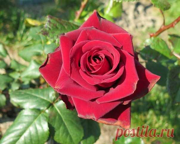 Эти розы не только красивы, но и очень ароматны (г. Сочи). Фото: Vlad Bar