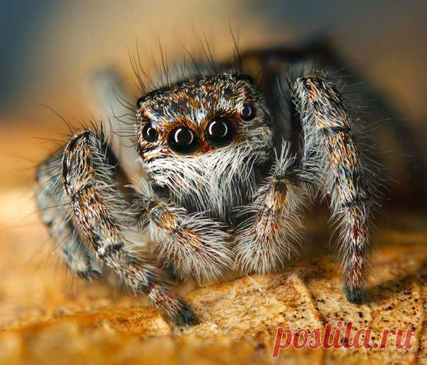 Глазастик-паук в объективе Владимира Сковородникова: nat-geo.ru/community/user/194541