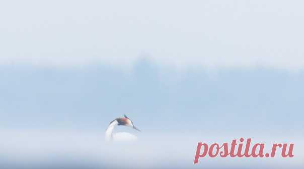 Изящная чомга в утренней дымке на снимке фотографа Maxim70: nat-geo.ru/community/user/33380 Доброе утро!