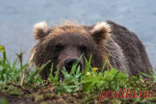 «Тише воды, ниже травы... Почти» Молодой медведь близ Курильского озера, Камчатка. Фотограф – Светлана Горбатых: nat-geo.ru/community/user/29089