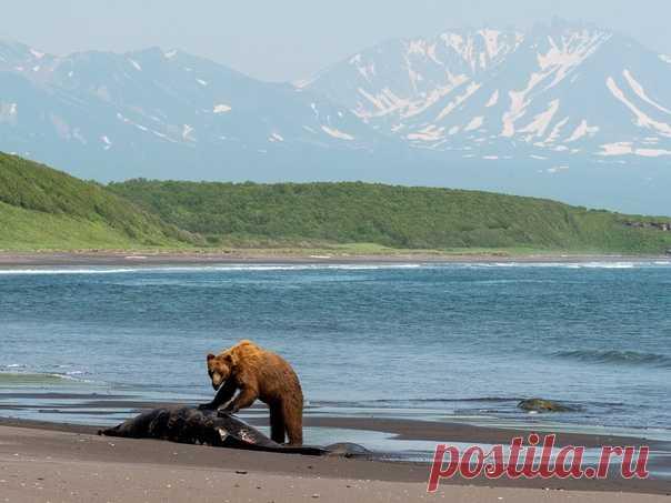 «Вот это улов» Медведь пытается справиться с тушей китенка, которого выбросило на берег незадолго до этого. Побережье Тихого океана вблизи Семячикского лимана, Камчатка. Снимал Владимир Омелин: nat-geo.ru/community/user/212919