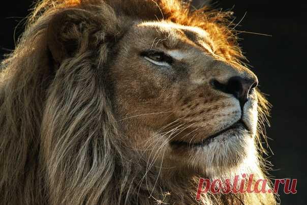Хорош! И прекрасно это знает. Царственный львиный портрет от Юрия Васильева.