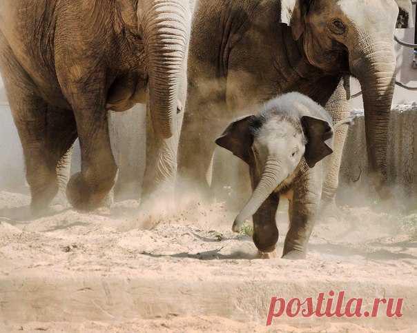Это Филимон, самый молодой слоник России (ему еще нет года). Рассказываем подробнее о малыше и его одногодках из столичного зоопарка (от птенца кафрских воронов до малышки-альпаки).