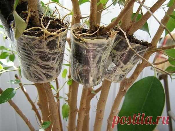 Уникальный способ размножения деревьев и кустарников   Легко получить саженцы деревьев, кустарников и комнатных цветов, имеющих древовидные стебли, методом воздушных отводков. Способ неимоверно прост и не потребует наличия специального инструмента или к…
