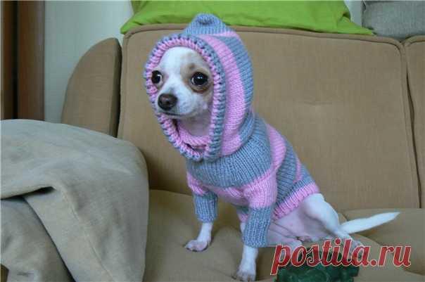 вязание для собаки чихуахуа вязание одежды для собак как связать
