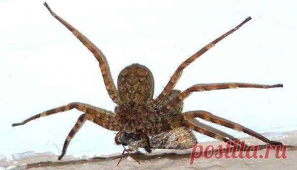За доли секунды пауки успевают развернуться на 360 градусов, схватить добычу и вонзить в нее ядовитые железы. Быстрее, чем вы моргнете! 😱 Поглядите, как работает отлаженная эволюцией восьминогая машина для убийств.