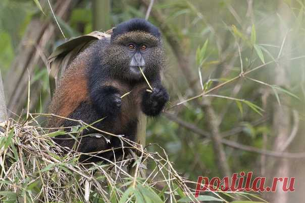 Золотистая мартышка (Cercopithecus kandti) – эндемик, обитающий лишь в четырёх национальных парках Африки: Бирунга (Руанда), Вирунга (Конго), Бвинди и Мгахинга (Уганда). Фотограф – Олег Домалега: nat-geo.ru/community/user/164492