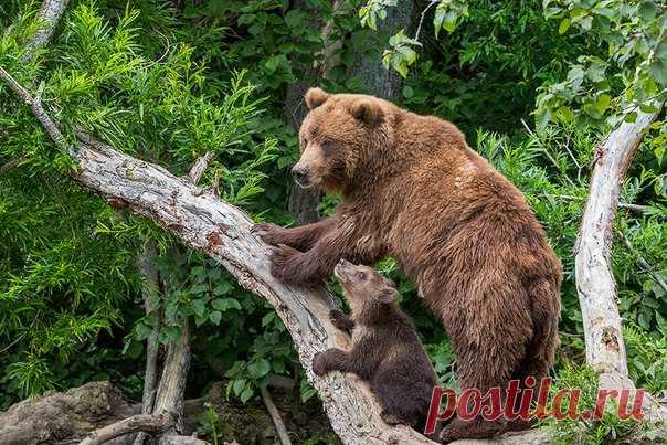 «Этот шестимесячный медвежонок еще слишком мал и нуждается в защите, к тому же он почти ничего не умеет. Это через несколько лет он станет большим и грозным медведем, а пока он растет, мама для него является единственным на свете другом, заступницей, и учителем», – рассказывает автор фото Геннадий Юсин: nat-geo.ru/photo/user/52372/