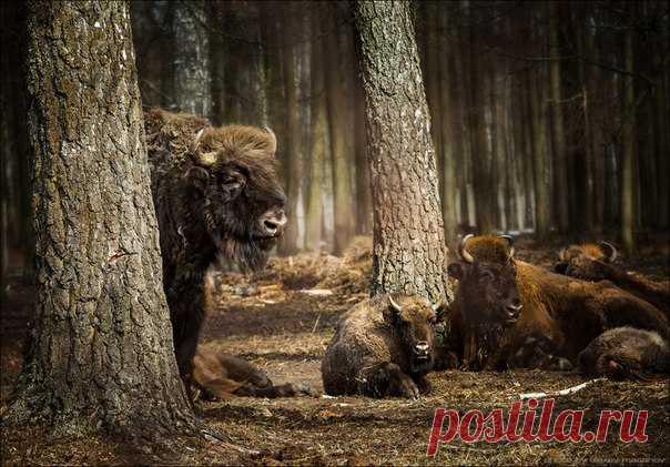 Фото дня. Зубры в Приокско-Террасном заповеднике.