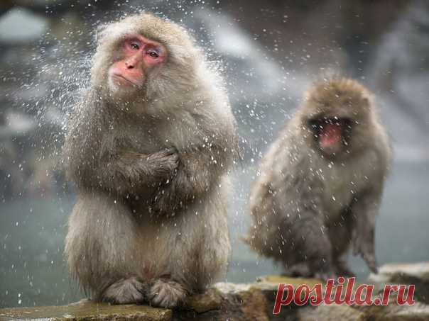 Спа для снежных обезьян. Автор фото – Алексей Перелыгин: nat-geo.ru/photo/user/302518/