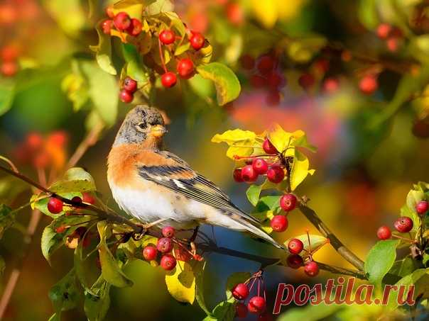 «Вьюрок - маленькая птица, которая способна менять расцветку в зависимости от сезона. Птицы юрки живут стайками, гнездятся тоже кучно, все вместе, рядышком. Гнезда вьют очень плотными, глубокими и тщательно устилают их пухом, травой и всем, что подходит для создания уюта и тепла. Юрки очень социальны, если вдруг самочка по какой-то причине остается на яйцах одна, без самца, то о ней заботится вся стая», - рассказывает нам фотограф Влад Владиленов: И делится вот такой осенней зарисовкой!