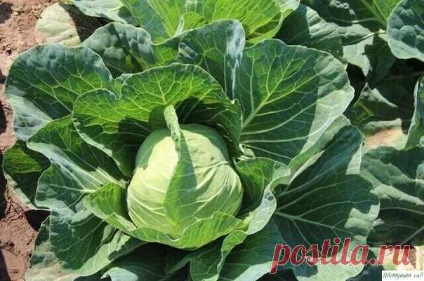 Бoремся с капустными вредителями
