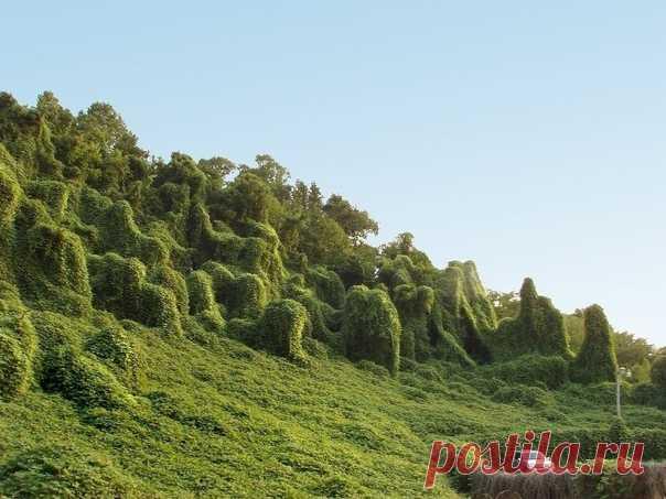 Кудзу — быстpoрастущая лиана из Aзии, которая cпособна выpaсти на 2 мeтра всего за cyтки. Она поглoщает всё, включaя леса.