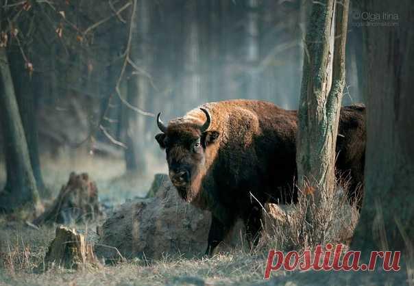 Зубр (Bison bonasus) в Приокско-террасном заповеднике. Благодаря стараниям и совместной работе питомников по всей Европе численность зубров составляет около 7000 особей и продолжает медленно расти. Фотограф – Olgait: nat-geo.ru/community/user/186031