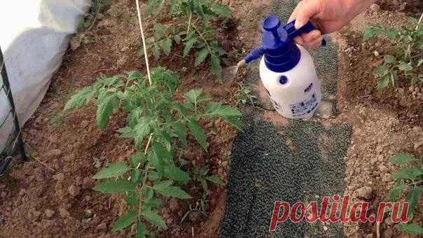 Хитрості застосування йоду для помідорів Розсаду помідорів поливають розчином йоду для швидшого зростання (1 крапля на три літри).    Після вживання цього розчину розсада зацвіте швидше, а плоди будуть більші. Йод може захистити помідори і від фітофтори.    Від фітофтори - кожні 2 тижні обприскувати помідори розчином молока з йодом.    Роз