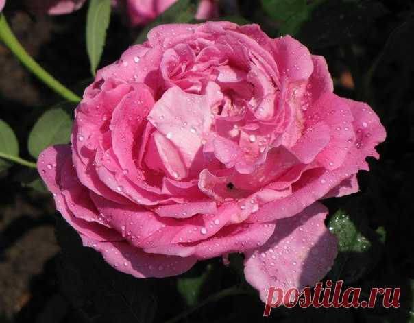 8 секретов выращивания роз  Роза- настоящая королева цветника. За годы выращивания этого прекрасного цветка поняла, какие ошибки при выращивании роз нужно не допускать. Надеюсь, что эти советы по выращиванию роз помогут начинающим любителям выращивания роз  1. Обязательно заглубляйте место прививки на 3-5 см. Роза погибнет, если погибнет прививка. Это относится к привитым розам.  2. При посадке обязательно хорошенько полейте и утрамбуйте землю около корневой системы, для т...