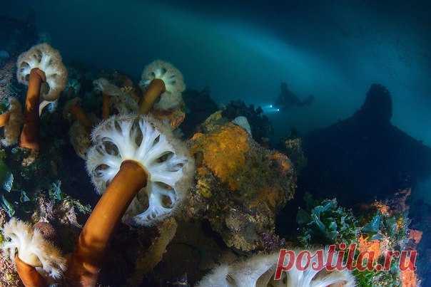 «По грибы» – снимок Андрея Сидорова, nat-geo.ru/photo/user/31857. Актинии Охотского моря. Магадан, Нагаевская бухта, затонувший пароход «Выборг». Март 2016 года. Подледная съемка. Метридиум колбасный (Metridium farcimen) – очень распространенный вид актиний в северной части Тихого океана. Относительно стройное гладкое тело может быть длиной до 1 метра!