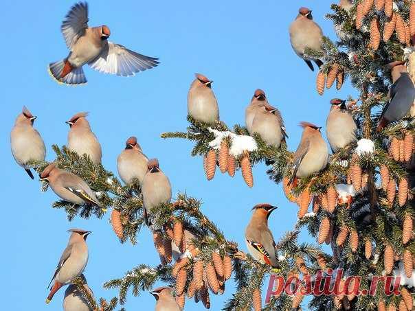 Свиристели прилетели. Автор фото – Влад Владиленов