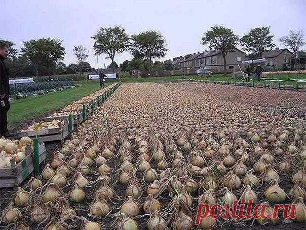 Не пробовали посадить лук китайским способом? В прошлом году лук у нас в огороде вырос на диво. Луковицы необыкновенно крупные, здоровые, ярко-оранжевого цвета, что свидетельствует о хорошей зрелости. Правда, довольно плоской формы, что не совсем отвечает …