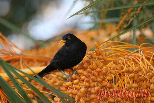 Кажется, чёрный дрозд вас в чём-то подозревает. Фото сделал Валерий: nat-geo.ru/photo/user/353723/