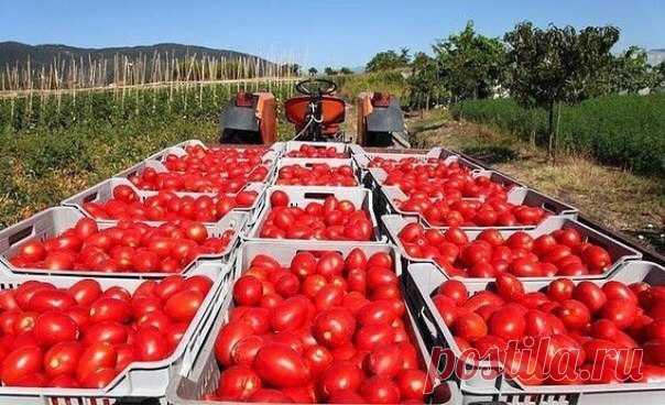 ВЫРАЩИВАНИЕ ПОМИДОР ПО МАСЛОВУ.  УВЕЛИЧЕНИЕ УРОЖАЯ В 8 РАЗ!  Наблюдая в течение многих лет за развитием томатных растений, я пришел к выводу, что для того, чтобы обеспечить налив большого количества плодов, нужна мощная корневая система. Показать полностью…