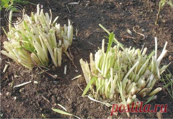 ОБРЕЗКА МНОГОЛЕТНИКОВ ОСЕНЬЮ  Большинство садоводов проводят обрезку растений в осенний период, однако встречаются растения, которые сохраняют листву и в зимний сезон, особенно те из них, что растут в теплых регионах с мягким климатом.   Такие растения обрезаются весной. Однако и в средней и в северной полосе России есть растения, которые предпочтительней обрезать после зимы и причин для этого множество.   Приведенный ниже список растений, которые лучше обрезать весной, но...