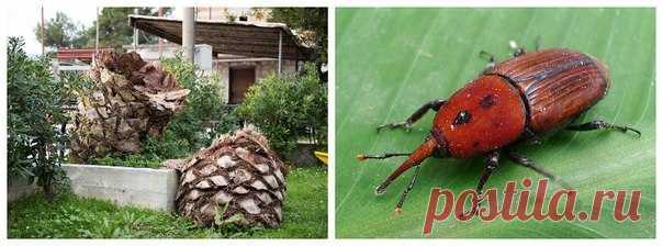 Пенёк слева когда-то был красивой пальмой. Её не срубили, а съели – вот такие милые жучки, похожие на слоников (так их и величают, кстати). 🌴 vs 🐞