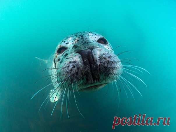 «Контакт» «Ларги очень осторожные, но любопытные животные. Чтобы завоевать их доверие, нужно пробыть немало времени под водой», – рассказывает фотограф Сергей Шанин. Другие снимки автора можно полистать здесь: nat-geo.ru/community/user/17645/