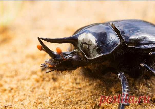 Что общего у навозника и булочника – в нашем материале о важных жуках, без которых мир утонул бы в сами знаете чём.