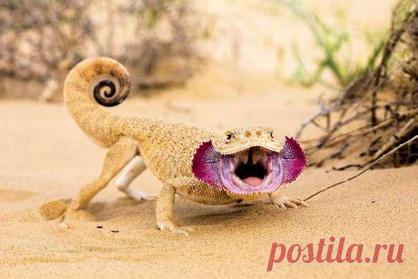 В астраханских песках скрываются удивительные создания. Посмотрев на огромные красные пасти и разноцветные хвосты, мы делимся с вами впечатлениями.