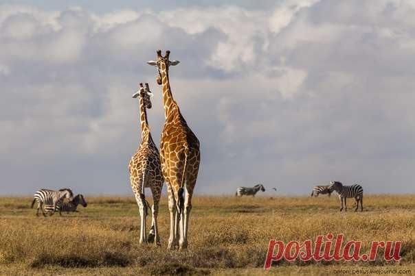 Жирафы на свидании. Частный природный парк Оль Педжета, Кения, Африка. Фотограф – Антон Петрусь: nat-geo.ru/photo/user/50290/