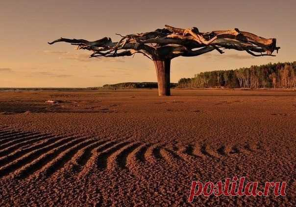 This unusual wonderful tree is in a riverhead of Kama. And unusual in it the fact that it is driven in sand by roots up which scope makes 5-6 meters.