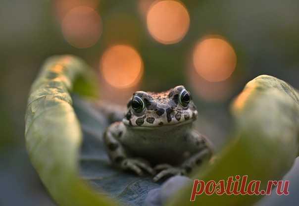 «В ожидании принца» Зелёная жаба на листке лотоса. Автор фото – Алёна Рыжова: nat-geo.ru/community/user/46736/
