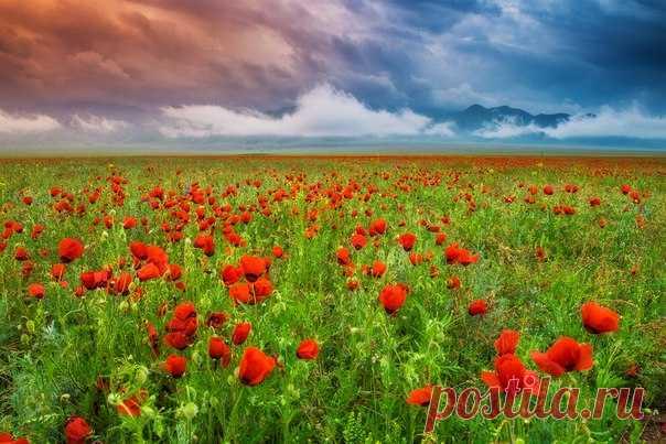 Грозовые облака над цветущей степью маков. Автор фото — Антон Агарков, участница фотоконкурса «Казахстан — энергия будущего». Победитель конкурса отправится в фотоэкспедицию в Казахстан вместе с командой «National Geographic Россия»: