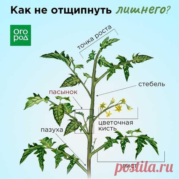 Боитесь отщипнуть лишнее, потому не пасынкуете томаты? Сохраните полезную схему.