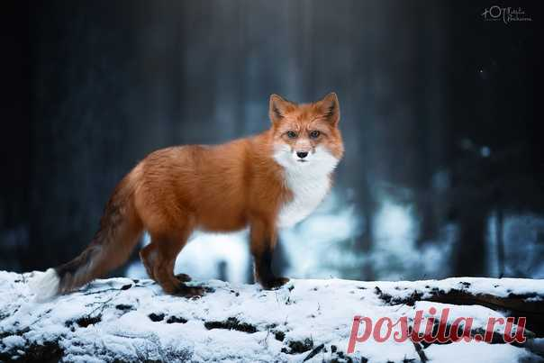 Пронзительный взгляд рыжей красотки в кадре Наталии Поникаровой: nat-geo.ru/community/user/223737