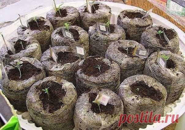 Выращивание марихуаны в торфяных таблетках сорт с самым большим тгк конопля