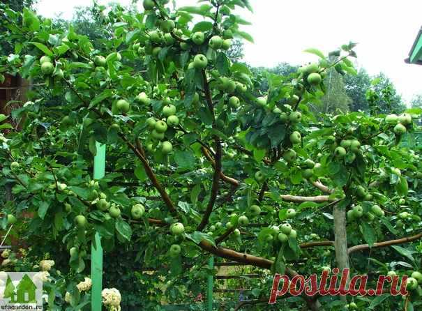 Почему нет яблок | Дачная жизнь - сад, огород, дача