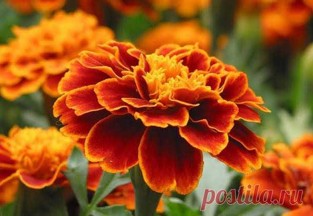 Бархатцы — чай с одним цветком способен «вытянуть» 100 болезней! - Народная медицина - медиаплатформа МирТесен