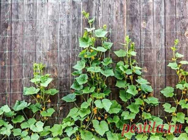 Symptoms of shortage of minerals at cucumbers.