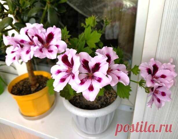 Как ухаживать за Королевской пеларгонией с осени, чтобы она красиво расцвела весной | Klumba-plus | Яндекс Дзен