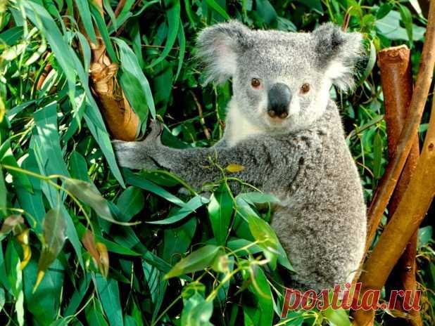 """Особенности животных: 7 интересных животных Австралии, одно из которых стало основой мифов о русалках. Видео #2 Австралия сама по себе интересная страна. Она долгое время была неким """"затерянным миром"""".100 миллионов лет назад Австралия откололась от Антарктиды и стала существовать в полной изоляции. На всей земле менялась флора и фауна, одни животные вытесняли других. А те, которые были """"до того"""", нашли свой приют в """"затерянном мире"""" Австралии."""