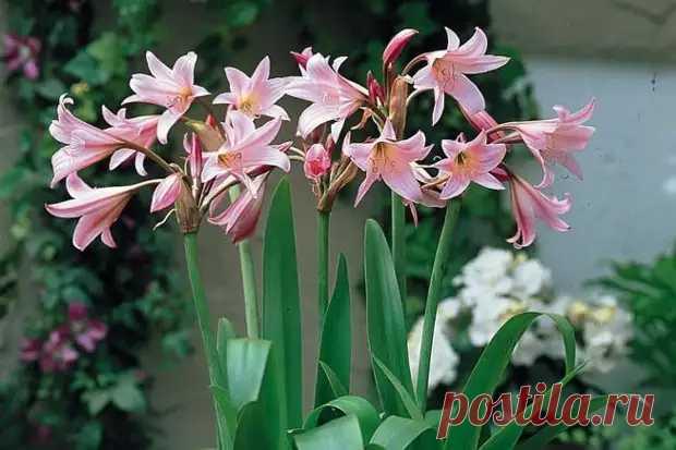 Луковичные комнатные цветы с названиями и фото - Цветочки - медиаплатформа МирТесен