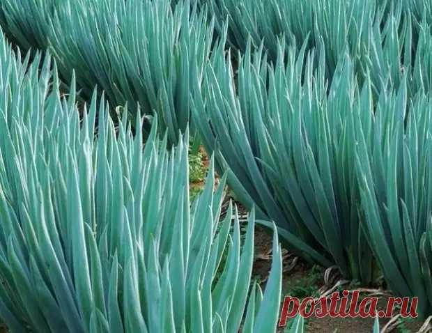 10 секретов выращивания хорошего урожая лука - Наша дача - медиаплатформа МирТесен