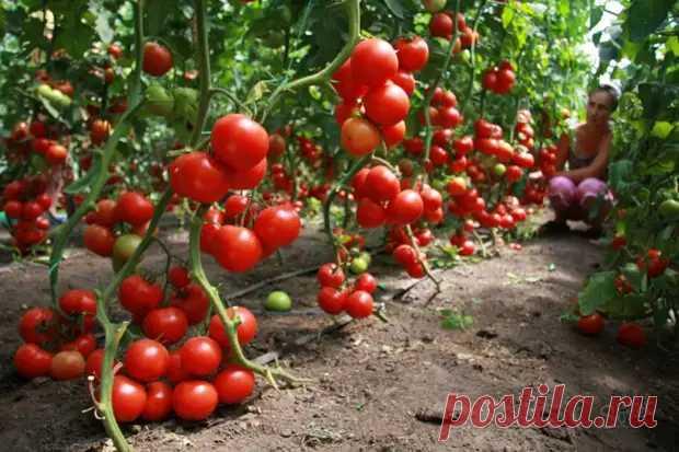 Волшебный бальзам для роста помидоров! - Наша дача - медиаплатформа МирТесен