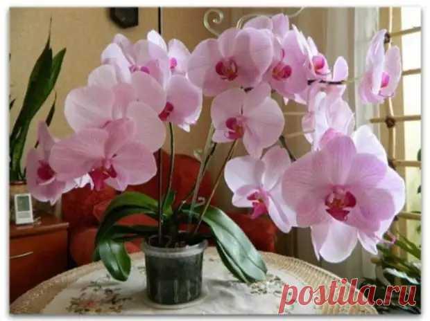 Как помочь орхидее зацвести: советы опытных цветоводов - Уголок хозяйки - медиаплатформа МирТесен